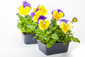Pansy paks transplants grown in greenhouse packs Stock Photography