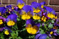 Pansy plant decorates the streets of Amsterdam Royalty Free Stock Photo