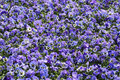 Pansy purple flowers of viola tricolor subsp hortensis floral background Stock Images