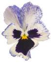 Pansy studio shot of blue colored flower isolated on white background large depth of field dof macro Stock Photo