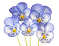 Pansy studio shot of blue colored flowers isolated on white background large depth of field dof macro Royalty Free Stock Photos