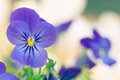 Pansy toned image of single Royalty Free Stock Photography