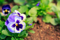 Pansy viola flower blue in garden Royalty Free Stock Photography