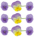 Pansy and viola flowers Stock Image