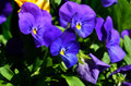 Pansy viola flowers Royalty Free Stock Photo