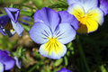 Pansy viola species flower yellow and blue Royalty Free Stock Image