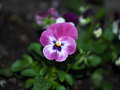 Pansy or viola tricolor blooming in late spring Stock Photography