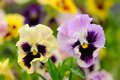 Pansy violet flowers on flower bed beautiful yellow and purple viola tricolor growing a horizontal orientation Royalty Free Stock Image