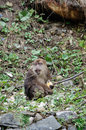 Pant of the monkey monkeys grabbed snacks after successful run away sitting on ground very long location china hailuogou scenic Stock Image