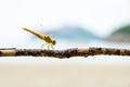 Pantala Flavescens, Yellow dragonfly Royalty Free Stock Photo