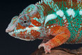 Panther chameleon Royalty Free Stock Photos