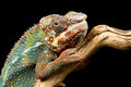 Panther chameleon against a plain black background Royalty Free Stock Image