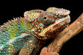 Panther chameleon against a plain black background Royalty Free Stock Photography