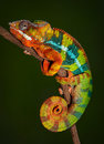 Panther Chameleon at rest Royalty Free Stock Photo