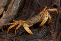 Panther crab Royalty Free Stock Photos