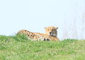 Panther lazy lying on grass on top of hill Royalty Free Stock Images