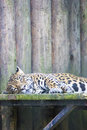 Panther sleeping at the zoo in bucharest romania Stock Image