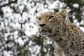 Panthera pardus saxicolor, Persian Leopard Royalty Free Stock Photo