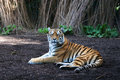 Panthera tigris Stock Photography