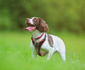 Panting dog beautiful pet in green grass Royalty Free Stock Images