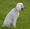 Panting dog white standard size poodle on the lawn and Royalty Free Stock Photography