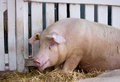 Panting pig in pen Royalty Free Stock Photo