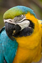 Papagayo, parrot colorful ecuadrorian bird Royalty Free Stock Photo