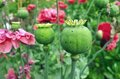 Papaver capsules. Royalty Free Stock Photo