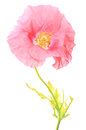 Papaver Royalty Free Stock Photo