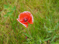 Papaver flower red genus of the poppy family papaveraceae Royalty Free Stock Images