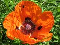 Papaver orientale in the garden Royalty Free Stock Photo