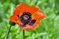 Papaver orientale (Oriental poppy) Royalty Free Stock Images