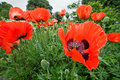 Papaver Orientale, oriental poppy flowers Royalty Free Stock Photo