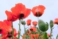 Papaver Orientale, oriental poppy flowers Royalty Free Stock Photo