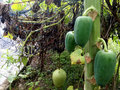 The papaya is fruit of plant carica sole species in genus carica of plant family caricaceae it is Stock Photos