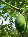 The papaya is fruit of plant carica sole species in genus carica of plant family caricaceae it is Stock Images