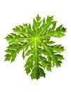 Papaya green leaf Royalty Free Stock Photo