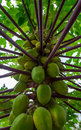 Papaya green and tree of thailand Royalty Free Stock Photography