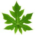 Papaya Leaf Isolated Royalty Free Stock Photos