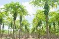 Papaya plantations. Royalty Free Stock Photo