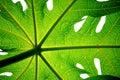 Papaya's leaf Stock Images