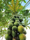 Papaya Tree Stock Photo