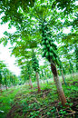 Papaya tree in the field Royalty Free Stock Photo