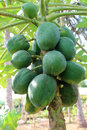 Papaya tree greenish on field Royalty Free Stock Photos