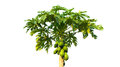papaya tree isolated,Green tree isolated on white background Royalty Free Stock Photo
