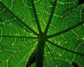 Papaya tree Leaf. Royalty Free Stock Photo
