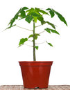 Papaya tree young in the plastic flowerpot on a straw mat Stock Images