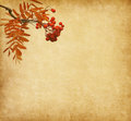 Paper with the berries of a rowan tree old Royalty Free Stock Photography