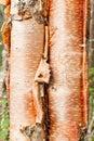 Paper birch Betula neoalaskana bark background Royalty Free Stock Photo