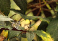 Paper kite butterfly, Idea leuconoe Royalty Free Stock Photo
